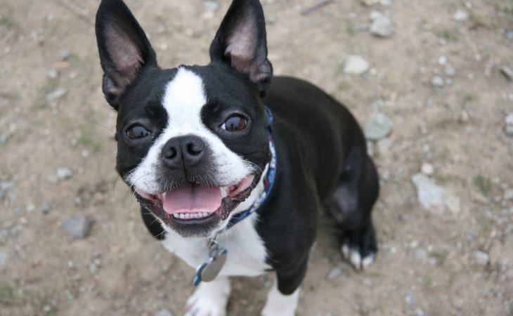 Caine boston terrier