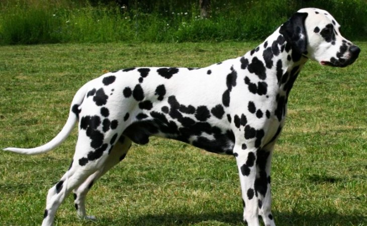 caine-dalmatian-hranaacana.ro