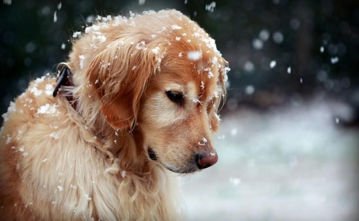Caine iarna zapada