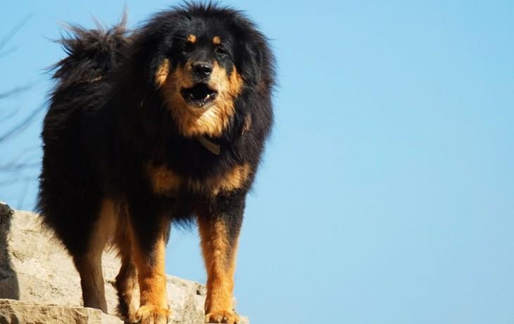 mastiff-tibetan-5