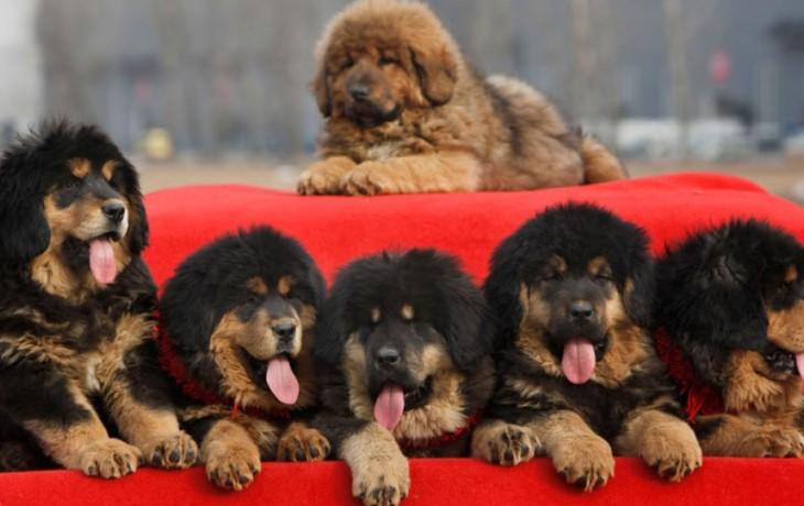 mastiff-tibetan-4
