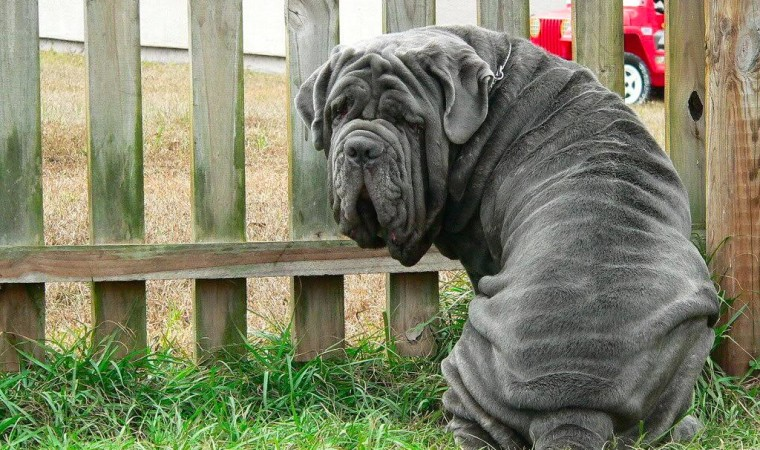 neapolitan-mastiff-hranaacana.ro